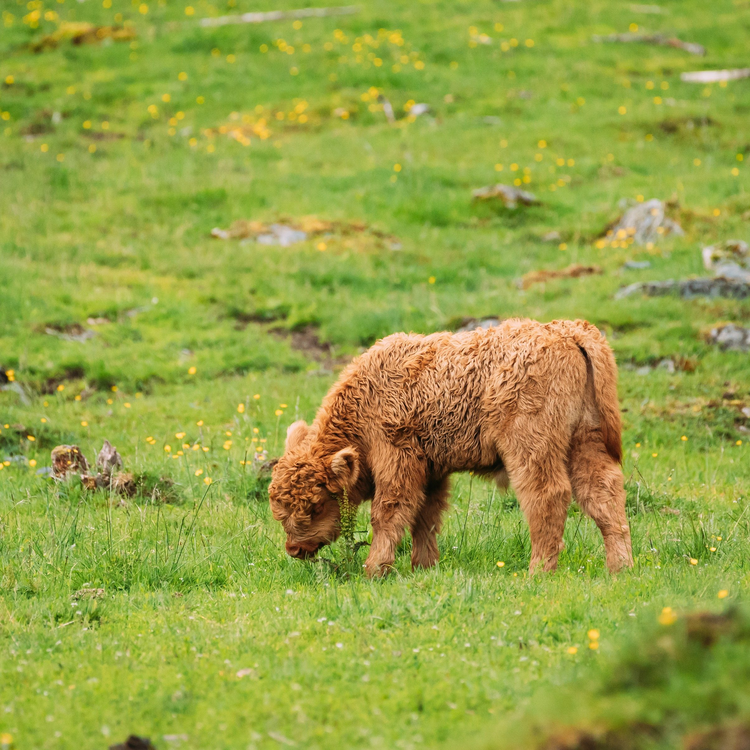 Highland Cattle Cows Graze On A Summer Pasture. Funny Scottish Cattle Breed Calf Walking In Meadow In Summer Day.